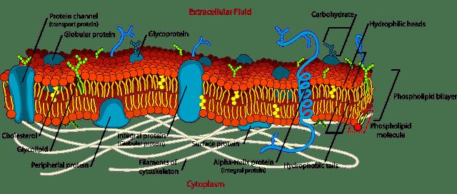 Wirkstoffaufnahme Zelle Faktoren